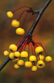 Small Picture 39 best mahonia and berberis images on Pinterest Shrubs