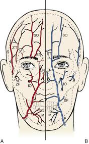arteries of the face 7 the head by regions pocket dentistry