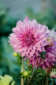 average american flower size dahlia wikipedia