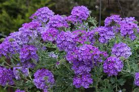 verbena italian blue has colour and fragrance