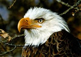a theatened symbol bald eagle by carl brenders