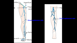 Veins Of Lower Limb Great And Small Saphenous Veins And