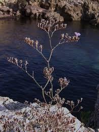 Limonium japygicum
