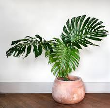 Monstera Deliciosa - Large Indoor Plants