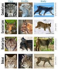 Bigcatwildcat Lynx Genus Comparison Chart So I Decided To