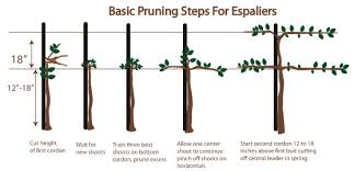 How To Grow Espalier Fruit Trees  Best Home Design IdeasGrowing Cordon Fruit Trees
