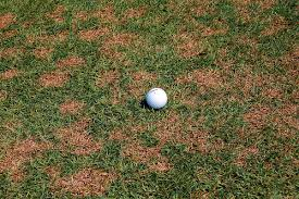 Turf Disease Turfgrass Disease Updates For Golf Courses The Wow Factor Seashore
