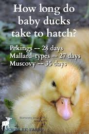 how long do duck eggs take to hatch