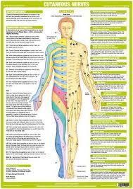 Dermatome Distribution Chart Cutaneous Nerves Anterior