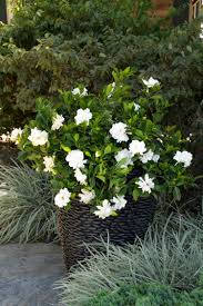 august beauty gardenia grafted