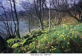 daffodils narcissus pseudonarcissus stock photos daffodils wordsworth s daffodils narcissus pseudonarcissus ullswater lake district stock image