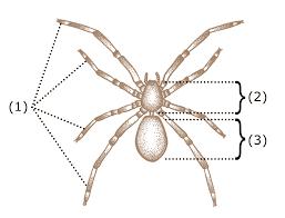 Spider Anatomy Chart Spider Anatomy Wikipedia