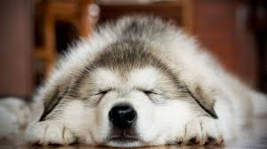 cute dogs and puppies husky. Fine Husky Cute Husky Puppies  Funny And Huskies Funny Pets With Dogs And G