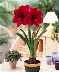 amaryllis merry flowering single amaryllis amaryllis fall 2016 flower bulbs amaryllis