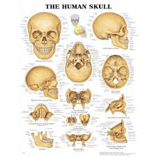 The Human Skull Anatomical Chart Poster Paper