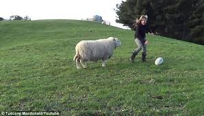 tuscany macdonald just beats bruce the sheep to the ball during their rugby training session