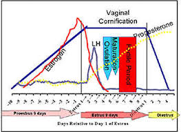 Female Dog Heat Cycle Chart The Normal Canine Estrous Cycle
