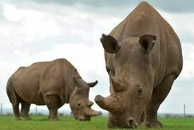 آخر فرصة. بقي اثنان فقط من وحيد القرن الأبيض ، هما أم وابنتها – بالعربي