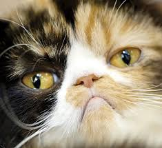 exotic shorthair. Wonderful Exotic Exotic Shorthair Cat Breed Info To T