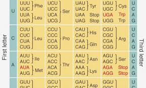 Universal Genetic Code Chart Biology Codon Chart