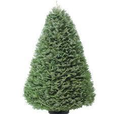 Tree Types At Songeru0027s Christmas Tree FarmTypes Of Fir Christmas Trees