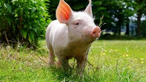 46 Pig Hd Wallpapers - Pig Hd ...