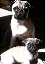 Fawn Age Chart Pug Age Growth Chart Puppy And Adult