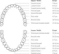 Dental Chart Dental Diagram Wiring Diagrams