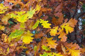 fall nature backgrounds. Fall Autumn Oak Leaves, Nature Backgrounds Stock Photo - 15789525