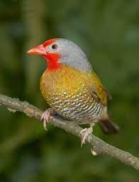 ニシキスズメ Green-winged Pytilia (Pytilia melba) | Colorful birds, Beautiful  birds, Bird gif