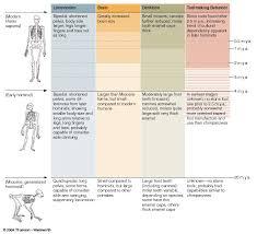Hominin Chart Human Evolution Overall