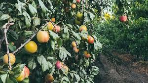 Little Kumquat Fruit On The Tree In The Orchard Stock Photo Small Orange Fruit On Tree