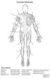 Human Muscles Front View Worksheet Coloring Page And Muscle ...