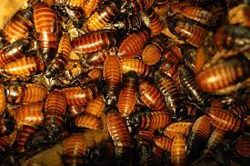 Are Durham Roaches the Cause of Your Autumn Allergies? | Triangle ...