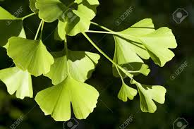 Image result for ginkgo biloba tree free picture