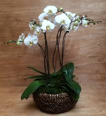 three phalaenopsis orchids