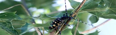 Asian Longhorned Beetle Alb