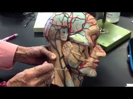 arteries of the face arteries veins of the face head neck youtube