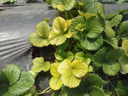 yellow strawberry leaves