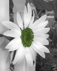 black white green sunflower wall art home interior matted picture ebay on black and white with a splash of red wall art with pin by jose mora on mi colecci n pinterest colour