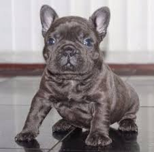blue french bulldog puppies in california