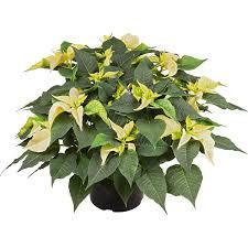 Weihnachtsstern Weiß Topf ø Ca 21 Cm Euphorbia Pulcherrima