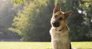 Gsd Weight Chart German Shepherd Size Growth Height And Weight