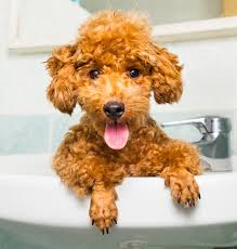 toy poodle grooming