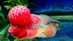 Aquarium Design For Flowerhorn Flowerhorn Fish Care And Attractive Tank Setup With 3