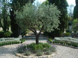Mediterranean Garden Design Unique Olive Trees With Borders Of Rosemary And Lavender Or Russian Sage