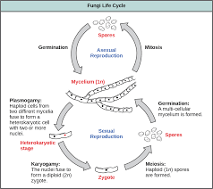 Venn Diagram Of Asexual And Sexual Reproduction Characteristics Of Fungi Openstax Biology 2e