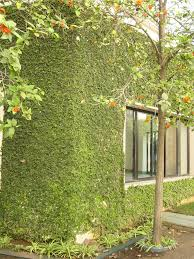Climbing Plants  Hearts And Homes In HarmonyWall Climbing Plants India
