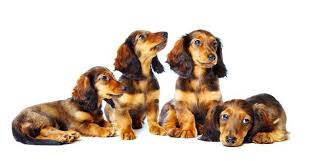 Dachshund Color Chart Dachshund Genetics Color Coat And Pattern