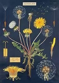 Cavallini Co Vintage School Poster Dandelion Chart